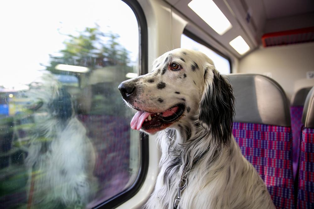 """English Setter """"Rudy"""" reist am 06.07. 2018 mit dem Zug von  Lysa nad Labem nach Prag in der tschechischen Republik.  Rudy wurde Anfang Januar 2017 geboren."""
