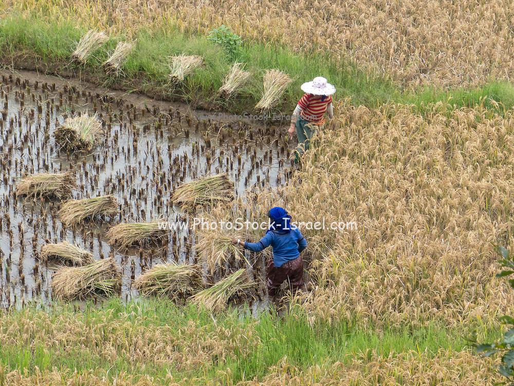 Women working in a rice field, Yuanyang, Yunnan, southwest China