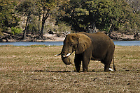 A Kalahari Elephant grazing while standing knee-deep in a muddy floodplain in Chobe National Park, Botswana