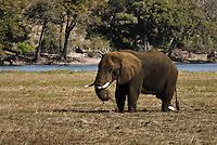 A Kalahari Elephant grazing while standing knee-deep in a muddy floodplain in Chobe National Park, Botswana