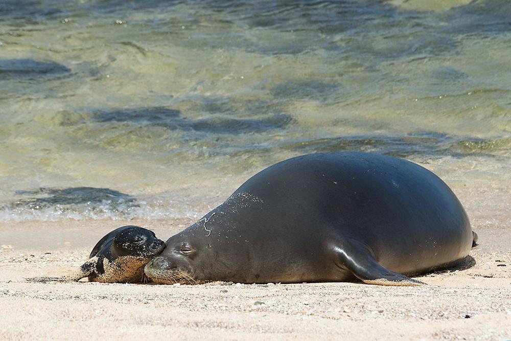 Hawaiian monk seal, Neomonachus schauinslandi ( Critically Endangered endemic species ), five day old pup nuzzles its mother, Kalaupapa, Molokai, Hawaii, USA; mother has Cuvierian tubule (defensive ejecta of sea cucumber) stuck on head
