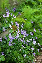 Viola cornuta growing amonst fennel at the edge of a border