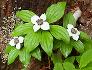 Bunchberry (Cornus canadensis, or Dwarf Dogwood, or Dwarf Cornel, or Crackerberry)  grows in Mount Pilchuck Natural Resources Conservation Area. Hike Lake 22 trail near Verlot on the Mountain Loop Highway, Snohomish County, Washington, USA.