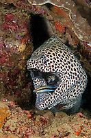Blackspotted Moray getting cleaned by a wrasse<br /> <br /> shot in Indonesia