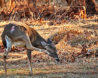 Doe with an injury on her thigh, with an itch. Winter backyard nature in New Jersey. Image taken with a Fuji X-T2 camera and 100-400 mm lens (ISO 800, 400 mm, f/5.6, 1/250 sec).