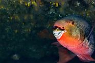 Ember parrotfish (Scarus rubroviolaceus)