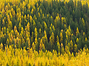 Autumn color of Western Larch, Larix occidentalis, on western slope of the Apgar Mountains east of the North Fork Flathead River, Glacier National Park, Montana.