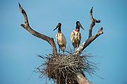 Jabiru Stork (Jabiru mycteria)<br /> Northern Pantanal<br /> Mato Grosso<br /> Brazil