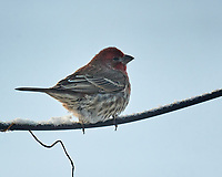 House Finch (Haemorhous mexicanus). Image taken with a Nikon D5 camera and 600 mm f/4 VR lens