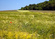 A lone poppy in the countryside, Jura region of France