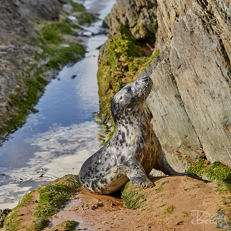 I met this little grey seal in Croyde bay when she surfed past me whilst I was photographing the waves. She is a moulted female pup, probably only 4-5 weeks old, a month at most, and therefore has recently weaned. Given that we met on the North Devon coast, she is likely to have been born to the Grey Seal colony on Lundy Island. Apparently, after weaning, seal mothers abandon their pups to fend for themselves. The moulted pups disperse in search of food and have to figure life out for themselves. For me, that explains both the pup's curiosity about her surroundings, but also her tolerance and naivety to the presence of a human.<br />