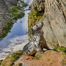 I met this little grey seal in Croyde bay when she surfed past me whilst I was photographing the waves. She is a moulted female pup, probably only 4-5 weeks old, a month at most, and therefore has recently weaned. Given that we met on the North Devon coast, she is likely to have been born to the Grey Seal colony on Lundy Island. Apparently, after weaning, seal mothers abandon their pups to fend for themselves. The moulted pups disperse in search of food and have to figure life out for themselves. For me, that explains both the pup's curiosity about her surroundings, but also her tolerance and naivety to the presence of a human.<br /> <br /> I reported this siting to the Seal Research Trust, with the photographs, so that they can track the little lady's progress if she is sighted again. She has been named New Zealand, after the markings on her neck, which are apparently a unique means of identification.