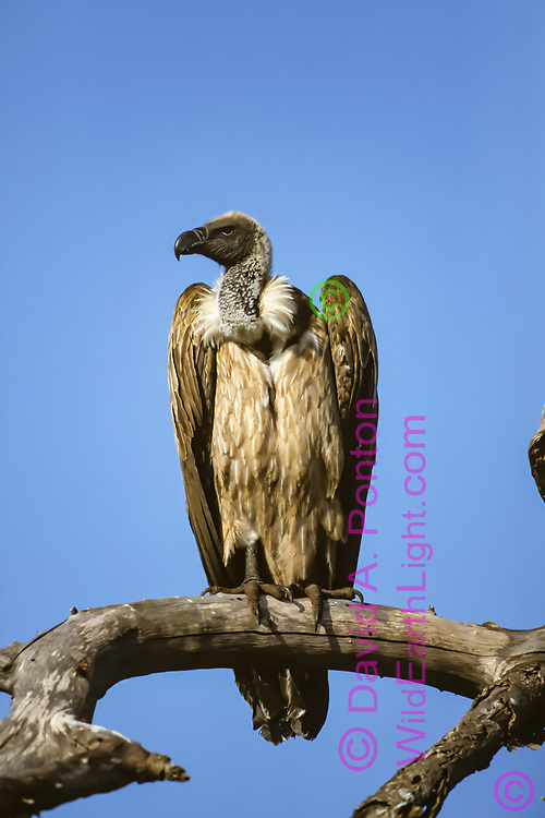 African white-backed vulture  juvenile, perched, blue sky background, Serengeti National Park, © David A. Ponton