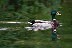 02-05-2019 NED: Nature around your garden, Maarssen<br /> Testing your new Sony A9 / The mallard is a common water bird that is often found in parks and ponds. The male, the woerd, can be recognized by the striking green head and white neckband.