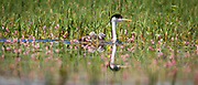 A baby western grebe rides the back of its parent swimming in Lake DeWeese.