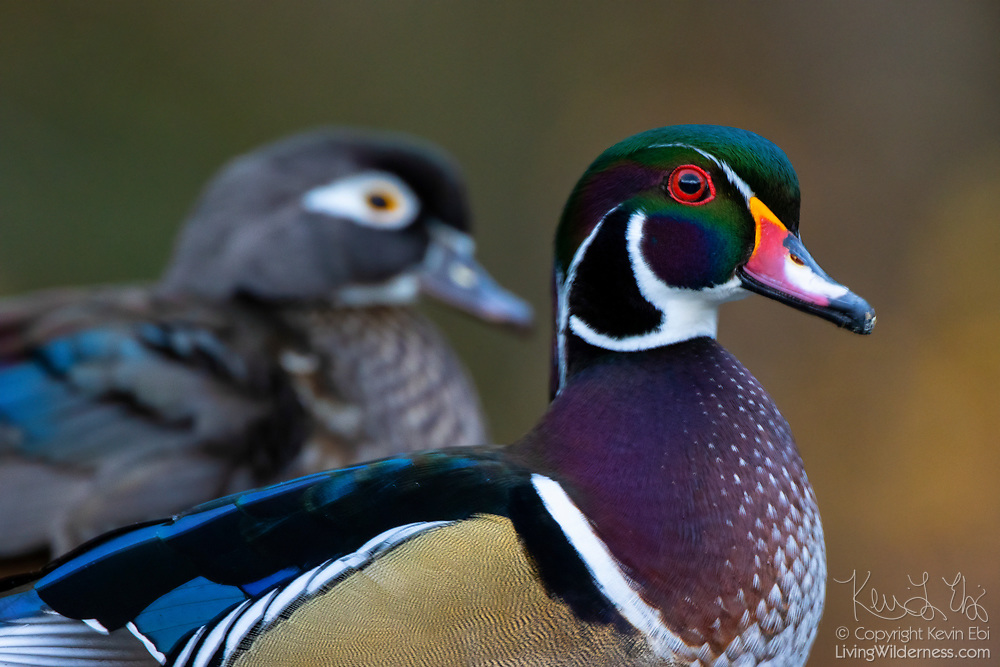 A pair of wood ducks (Aix sponsa), a drake or male is in the foreground, a female is in the background, rest together near a lake in King County, Washington.