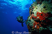 scuba diver examines boulders encrusted with marine life,<br /> St. Barts ( Eastern Caribbean Sea )   MR 95