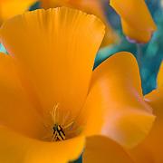 Close-up of a wild California poppy.