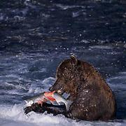 Alaskan brown bear (Ursus middendorffi) feeding on salmon. Brooks River, Alaska