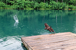 Dog Jumping Off Dock To Get Stick