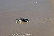 Australian flatback sea turtle hatchling ( Natator depressus ) (c-r) approaches ocean after emerging from nest, Crab Island, off Cape York Peninsula, Torres Strait, Queensland, Australia