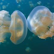 Two jellyfish bumping heads, Jellyfish Lake, Palau. Mastigias cf. papua etpisoni