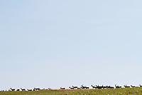 """Large herd of Red deer (Cervus elaphus) kept on a """"Deer Farm"""" for trophy """"hunting"""" in the borderlands of Poland and Ukraine. Ustrzyki Dolne, Lipie, Poland."""
