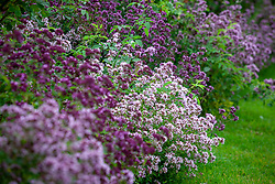 Border of Origanum vulgare - Oregano. English marjoram, Pot marjoram, Grove marjoram, Wild marjoram