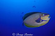 Vlaming's or bignose unicornfish, Naso vlamingii, <br /> Rangiroa Atoll, Tuamotu Islands, French Polynesia, <br /> ( South Pacific Ocean )