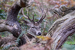 © Licensed to London News Pictures. 09/11/2019. LONDON, UK.  A red deer stag is almost camouflaged behind a in Richmond Park seen during the annual rut.  The rut occurs during October and November where stags compete for mating rights.  Photo credit: Stephen Chung/LNP