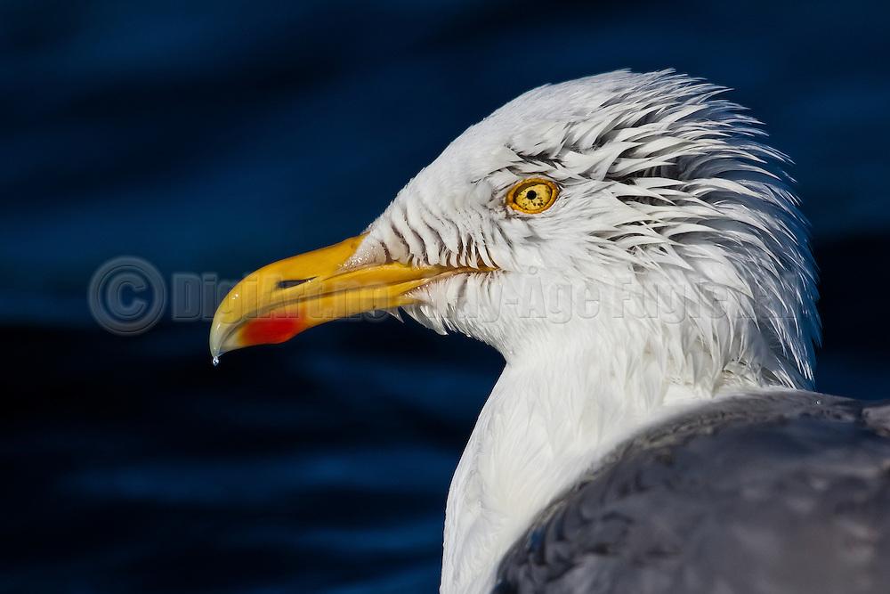 Seagull wit crew cut   Måke med piggsveis