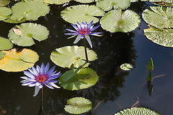 Water Lily, Purple #8