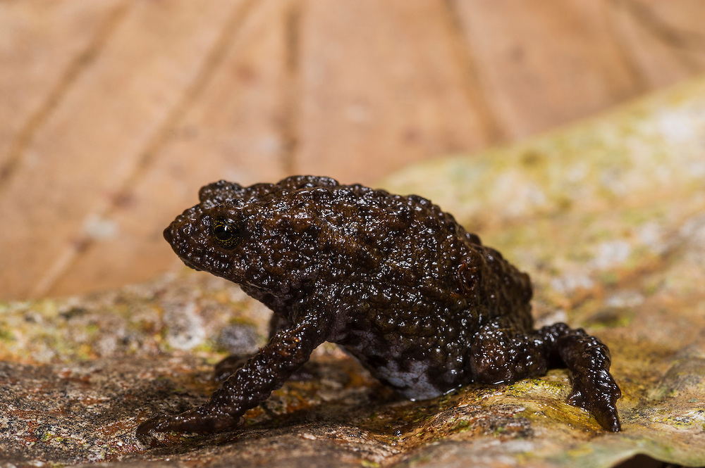 Andean Plump Toad (Osornophryne occidentalis) <br /> CAPTIVE<br /> Northwest ECUADOR<br /> South America<br /> RANGE: <br /> New to science<br /> Cannot swim