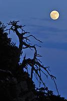 Cuirassed Pine (Pinus leucodermis) and full moon, Pollino National Park, Italy; WWoE Mission