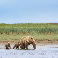 A brown bear sow stands at the water's edge with her cubs of the year, Hallo Bay, Katmai National Park
