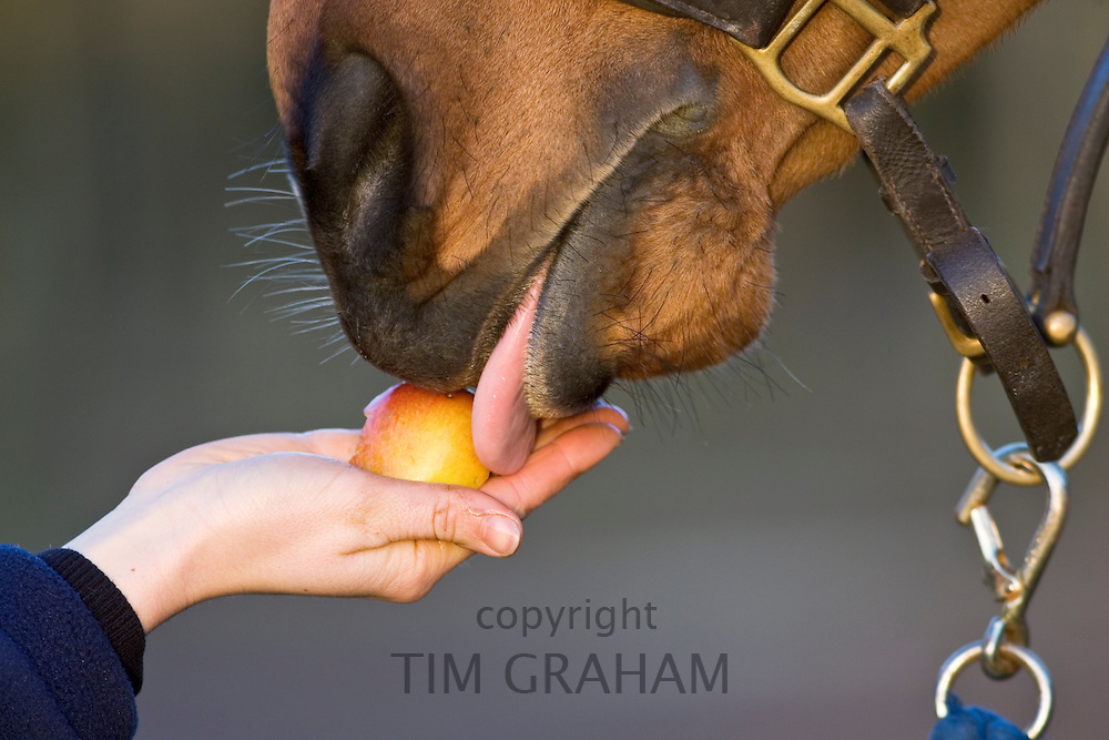 Cleveland Bay Cross Thoroughbred horse being fed an apple in Oxfordshire, United Kingdom.