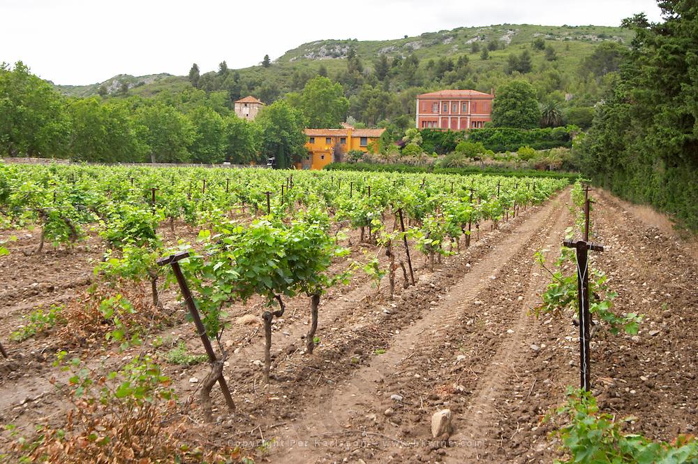 Vineyard. Syrah. Chateau de Jau, Cases de Pene, Roussillon, France