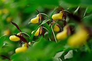 France, Languedoc Roussillon, Lozère (48), Cevennes, Causse Mejean, fleurs de Sabot de Venus, N.L.: Cypripedium calceolus, (Orchidacées)