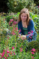 Collecting suitable cuttings material from tender perennials - penstemon