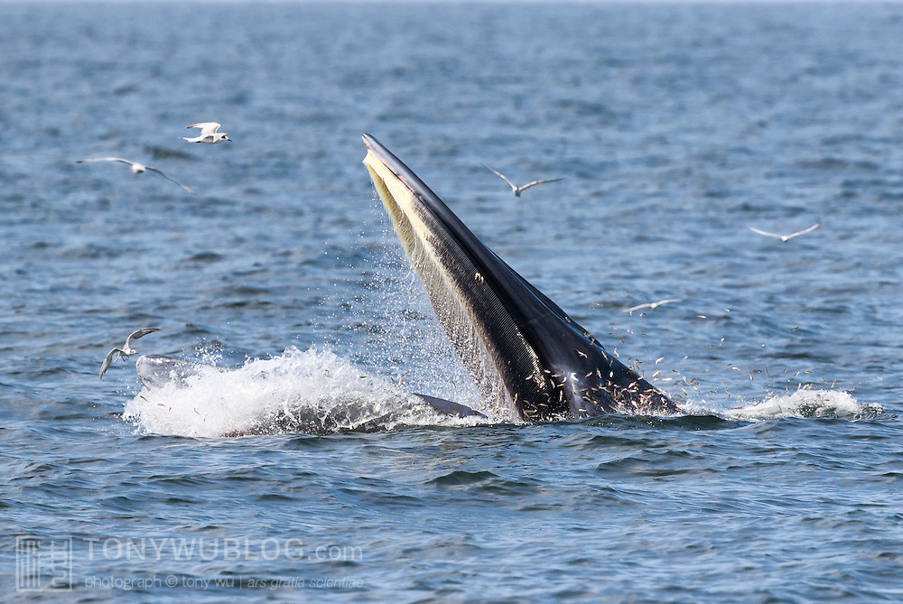 This is a male Eden's whale (Balaenoptera edeni edeni) known as Mesa, demonstrating the Drawbridge technique for feeding on anchovies. The whale raises his head above water to approximately eye level, then drops his lower jaw rapidly as if lowering a drawbridge. He then maintains a stationary, mouth-open position for an extended period of time, sometimes up to 30 seconds, during which time anchovies jump into his mouth. When he collects sufficient fish, he closes his mouth and reenters the water. Mesa is part of an isolated population of Eden's whales, which are a neritic member of the Bryde's whale complex, that live in the shallow waters of the Gulf of Thailand. It is likely that there are 50 or less in the population. Photo 5 in sequence of 7 photos illustrating beginning of Drawbridge technique.