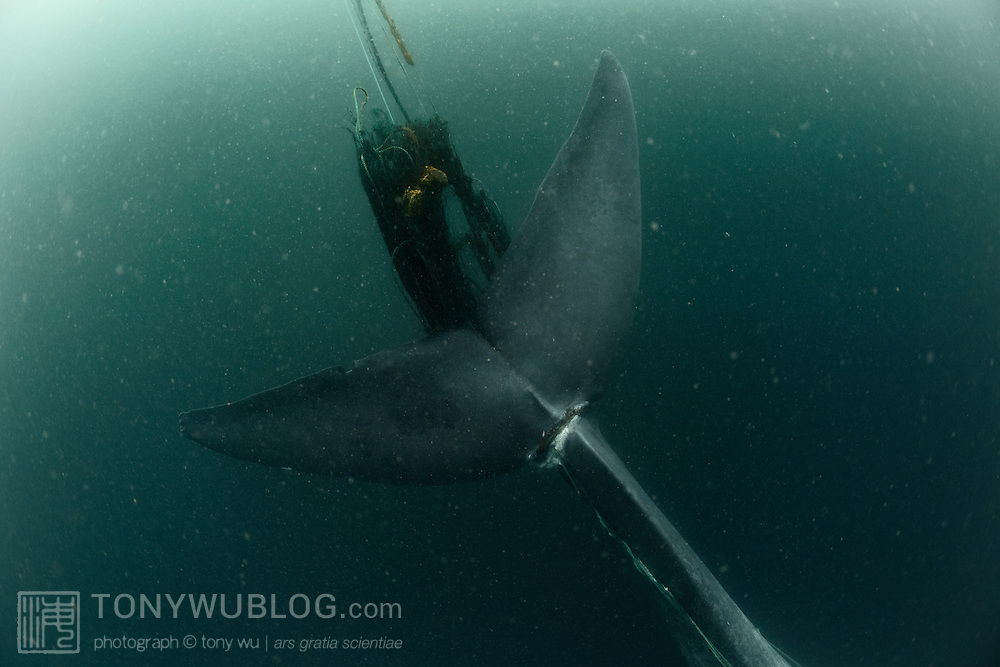 This is an adult pygmy blue whale (Balaenoptera musculus brevicauda) entangled in a fishing net. The net was wrapped around the base of the whale's fluke, with substantial net and rope trailing behind. Rope stretched up both sides of the whale and appeared to be caught in the whale's mouth. I came across this whale in shallow, green, murky water, approximately 60 meters depth. The whale was still able to swim, though it appeared exhausted. It did not fluke, and the netting was not visible from the surface. Sadly, this whale most likely died shortly after this encounter.