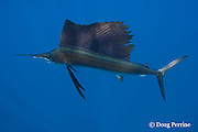 Atlantic sailfish, Istiophorus albicans (considered by some to be a single species worldwide, Istiphorus platypterus ), Yucatan Peninsula, Mexico ( Caribbean Sea )