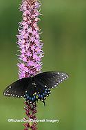 03009-00418 Black Swallowtail, female (Papilio polyxenes) on Prairie Blazing Star (Liatris sp)   IL