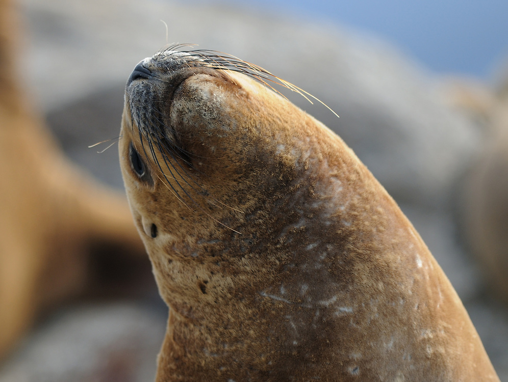 A South American Sea Lion (Otaria flavescens) on a rocky island in the Beagle Channel. Ushuaia, Argentina. 13Feb16