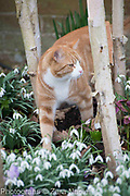 Thomas the cat under the Betula utilis var. jacquemontii - Silver Birch trees with Helleborus - Hellebores and Galanthus nivalis- snowdrops