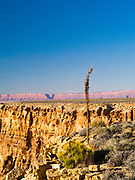 Dried yucca bloom on the edge of the Grand Canyon at Tatahatso Point, with the Vermilion Cliffs in the background.