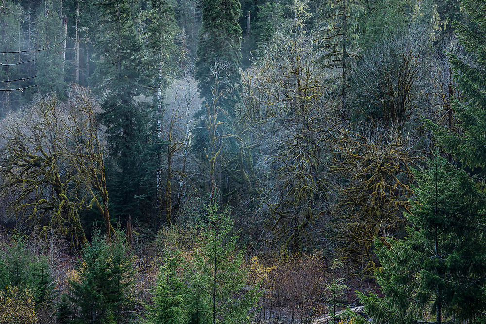 The forest along the Skokomish river, Staircase Rapids area of Olympic National Park, Washington, USA.
