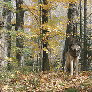 Gray wolf (Canis lupus) in a hardwood forest of northern MInnesota during autumn. Captive Animal