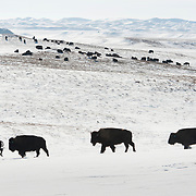 A herd of bison roam through snowy fields inside the 777 Bison Ranch in Hermosa. The ranch prides itself on raising their bison completely grass-fed.