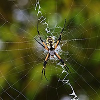 A close-up of a large female yellow garden spider (Argiope aurantia) in a web suspended approximately seven feet in the air, Back Bay National Wildlife Refuge, Virginia Beach, Virginia